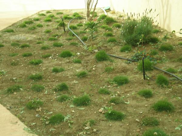 zoysia-tenuifolia-en-godets-avec-arrosage-par-micro-aspersion