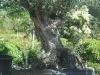oliviers-1