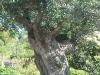 oliviers-2