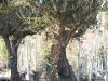 oliviers-3