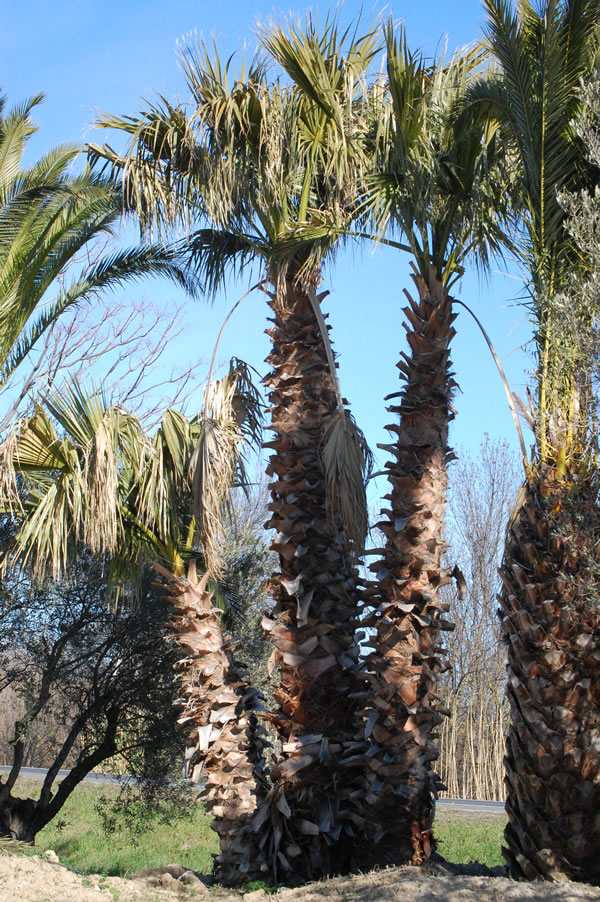 washingtonia-2