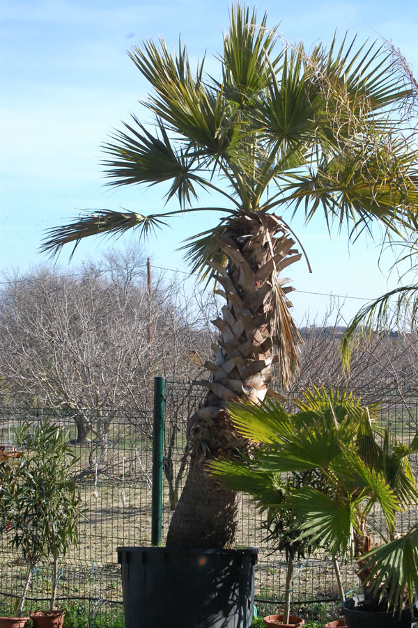 washingtonia-3
